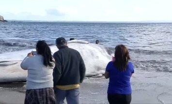 Į Čilės pietinę pakrantę išplovė negyvą banginį