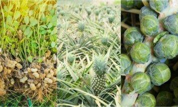 Nuostabą keliančios nuotraukos: taip atrodo mūsų pamėgti maisto produktai iki nuimant derlių