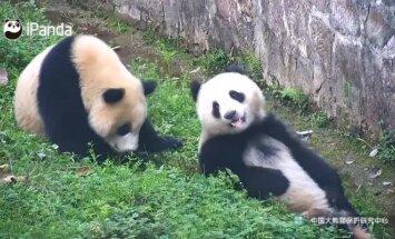 """""""Slaptas pandų gyvenimas"""" (41 serija): brolių ir seserų nesutarimai, peštynės ir provokacijos"""