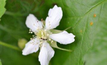 Gervuogės žydi baltais žiedais per visą vasarą.