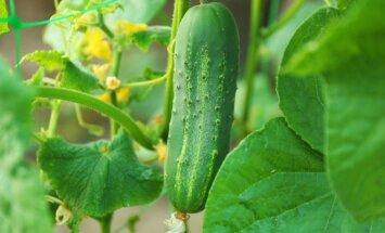 Agurkų daigų auginimas: patys svarbiausi aspektai