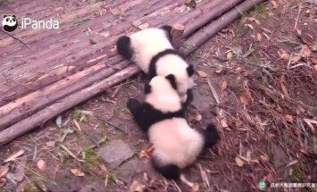 """""""Slaptas pandų gyvenimas (V): dviejų pandų sesučių išdaigos"""