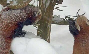 Raudonųjų pandų puotai Niujorke nesutrukdė net pūga