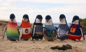 Pingvinams savanoriai mezga megztukus/ Phillip Island Nature Park nuotr.
