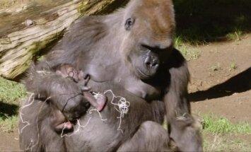 San Diego zoologijos sode gimė Vakarų lygumų gorila
