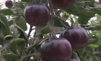 Juodi pomidorai prekyboje turėtų atsirasti metų bėgyje