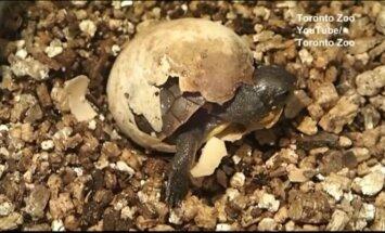 Nufilmuota: Toronto zoologijos sode iš kiaušinio prasikalė vėžliukas