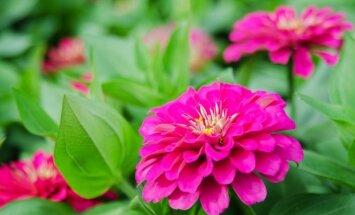 Įdomu: pirmoji pražydusi kosmose gėlė, kuri gali tapti ir jūsų sodo puošmena