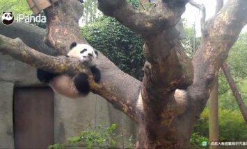 """""""Slaptas pandų gyvenimas"""" (XVIII): kas kone mirtinai išgąsdino Fu Lai?"""