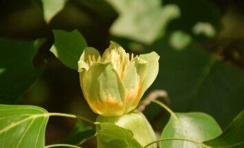 Tulpmedžių žydėjimas: kaip grožėtis kuo ilgiau