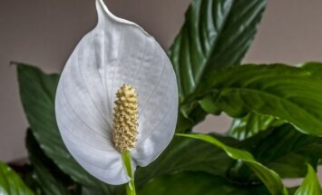 10 kambarinių augalų, kurie gali augti net tamsiausiame kampelyje
