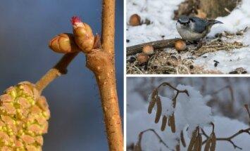 Lazdynų žydėjimas ir pavasario laukimas