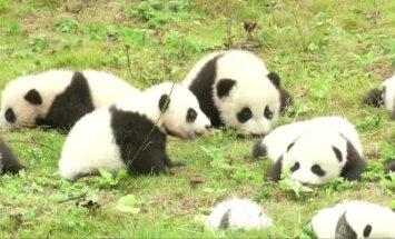 Kinijoje vienu metu pristatyti net 36 pandos mažyliai