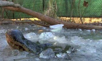 Bandydami ištrūkti iš šalčio gniaužtų aligatoriai nosimis laužė ledą