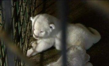 Tbilisio zoologijos sode pasaulį išvydo trys baltojo liūto jaunikliai