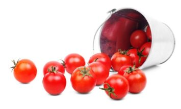 Pomidorų nuėmimas ir laikymas: ką svarbu žinoti