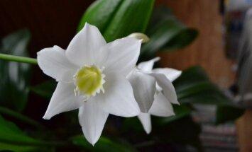 Gėlė, kuri gali pradžiuginti tamsiuoju metų laiku