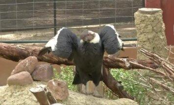 Bolivijos zoologijos sode pasaulį išvydo flamingai ir pirmasis nelaisvėje išsiritęs kondoras