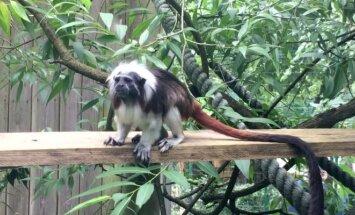 Perukinių tamarinų jaunikliai džiugina Kauno zoologijos sodo lankytojus