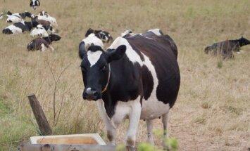 Per pieną ir medų žmogų gali sukelti invazinių rūšių sukeliama alergija