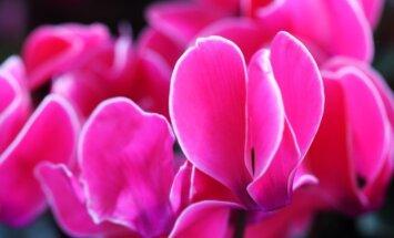 Ciklamenas: auginimas ir priežiūra namų sąlygomis