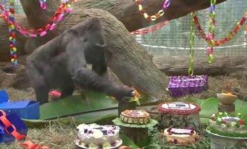 Seniausia JAV gorila sulaukė 60 metų jubiliejaus