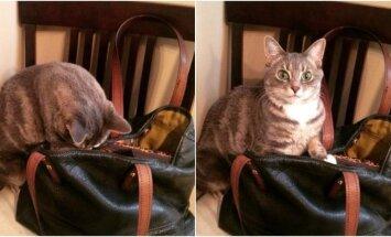 Katė rausiasi šeimininkės rankinėje