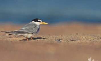 Karščiu alsuojančiame smėlyje ilsisi mažoji žuvėdra