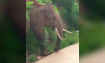 Atklystantys laukiniai drambliai trikdo pietvakarių Kinijoje esančio kaimelio gyvenimą