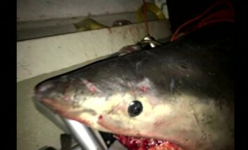 Baltasis ryklys įšoko į netoli Australijos krantų plaukusį žvejo laivą