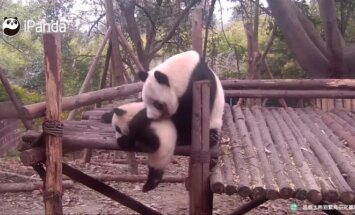 """""""Slaptas pandų gyvenimas"""" (IX): kritimu išgarsėjęs mažylis šįkart išsiskyrė grumtynėmis"""