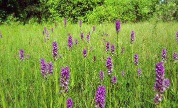 Orchidėjų pelkė vasarą