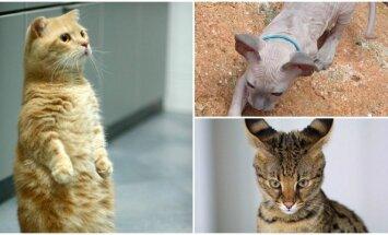 Keistos kačių veislės