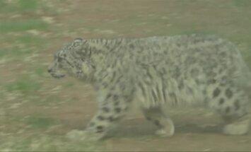 Pieno mišinukais maitinamam snieginiam leopardui sukako vieneri