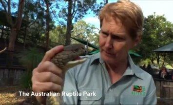 Kobrai reptilijų parke Australijoje buvo išspausti nuodai