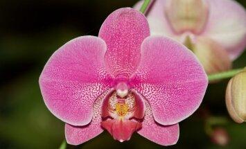 Kaip pražydinti orchidėją