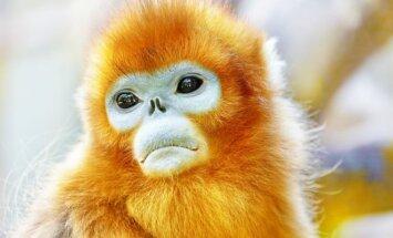 Beždžionė