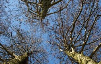 Naudinga mediena: alksnis