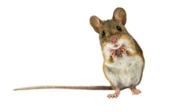Kas labiausiai vilioja peles į namus