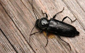 Kaip apsiginti nuo medieną graužiančių vabzdžių