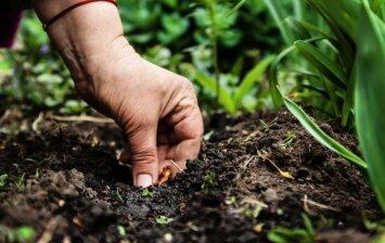 Kokias daržoves galima sodinti rudenį?