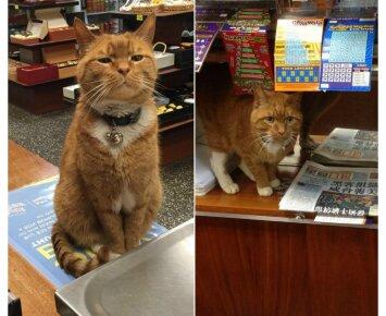 Beglobis katinas tapo parduotuvės šeimininku