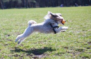 Kodėl šuo nenori atnešti kamuoliuko?