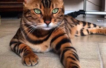 Socialinių tinklų atradimas: žvitriaakis katinėlis su tigro kailiu