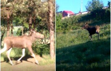 Laukiniai gyvūnai ir toliau plūsta į miestą: Kaune nufilmuotas besiblaškantis briedis