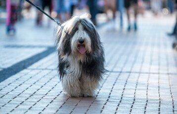 Šuo mieste: ar testą išlaikęs augintinis turi privilegijų?