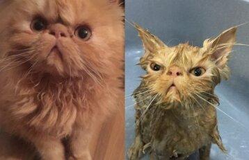 Sunkiai atpažinsi: gyvūnai prieš ir po maudynių