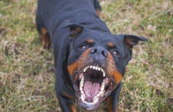 Vilniuje rotveileris sukandžiojo berniuką: šunų specialistai įžvelgia ir tėvų kaltę