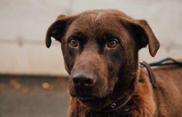 Padėkite šokoladinės spalvos šuniui surasti namus