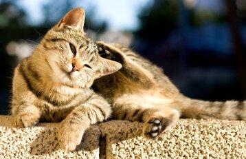 Kačių poodinės erkutės: sunkiai pastebimas, bet grėsmingas priešas